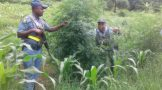 """Crime intelligence-led operation """"Ever Green"""" still bear positive results in the fight against drugs"""